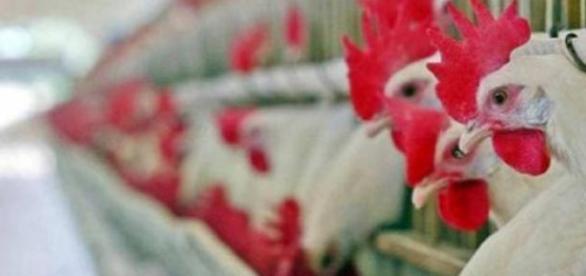 Vírus da gripe das aves detectado no Japão