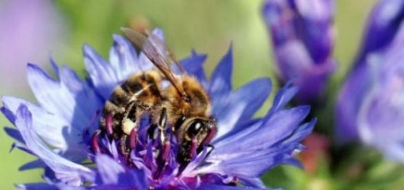 Abeille sur une fleur de bleuet