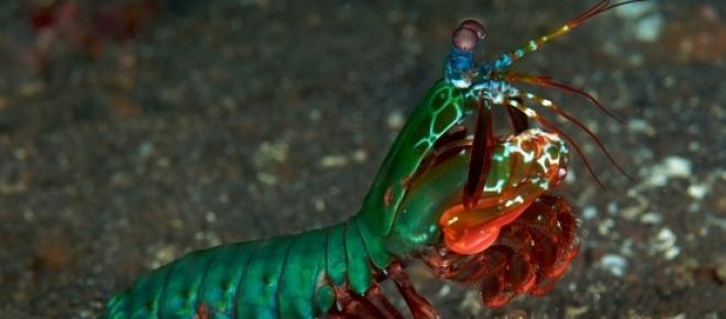 Fotos da espécie<em>Odontodactylus scyllarus </em>ou também conhecido como camarão louva-deus-pavão, objeto de estudo do artigo subsequente. Estas fotos retratam a estrutura de ataque parecida com clavas e seus olhos extremamente desenvolvidos.