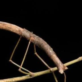 Es un enorme insecto palo de la isla de Borneo