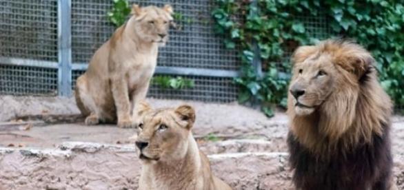 una leona lo arrojo al pozo