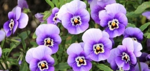 Giardinaggio come si cura la violetta africana for Violetta africana