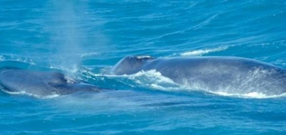 Las ballenas boreales emiten variadas melodías