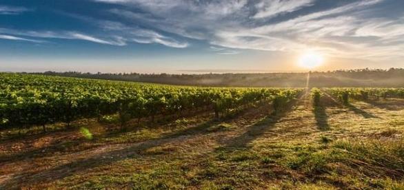 Vino:scoperto in Sardegna un vitigno di 3000 anni