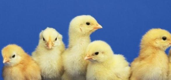 El experimento se llevó a cabo con varios pollos