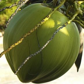 Kokosnuss an einer Palme am Strand