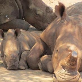 Rhinos at rest.Courtesy Future4rhinos