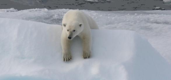 Eisbären sind bliebtes Motiv für Spendensammler