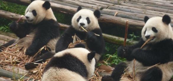 Image Pixabay commons. No attrition. Panda bears