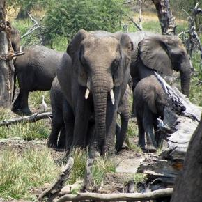 Image By Frank Flowers. African Elephnats