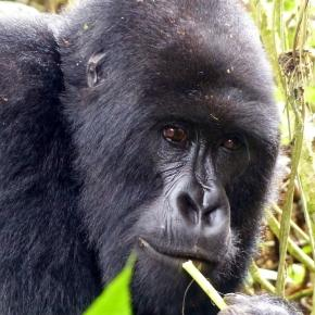 Rwanda gorilla. Image source Pixabay no attrition