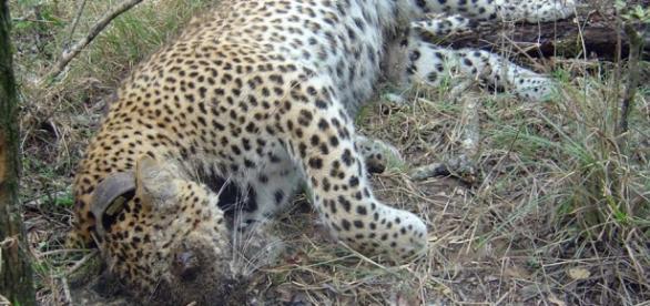 Dead leopard. Wildlife poisoning prevention.