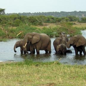 Ugandan elephants.