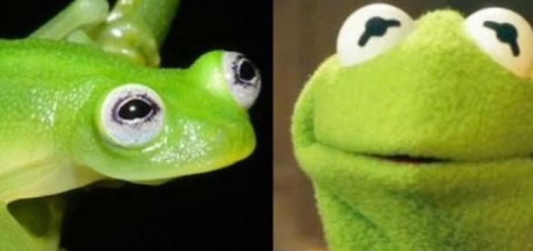 Nowy gatunek żaby pierwowzorem Kermita