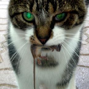 Czy kot może zabić człowieka? Skoro zabija myszy.