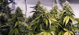 Cannabis legale e dintorni: una carta dei diritti per superare le discriminazioni
