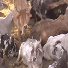 Święte krowy trzeba karmić i pielęgnować (YT scrn)