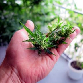 Wird Cannabis auch in Deutschland legalisiert?