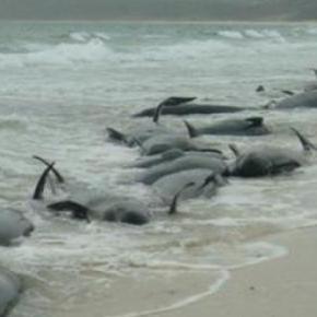 Les 140 bénévoles sauvent les baleines.