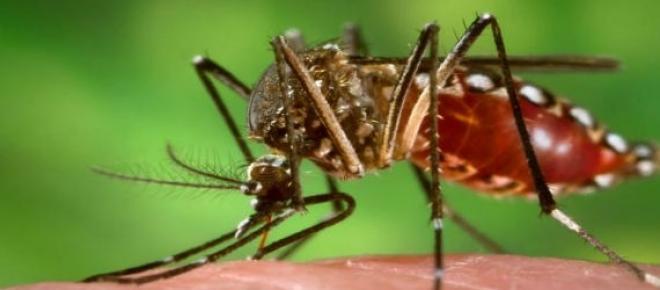 Mosquito transmissor da dengue