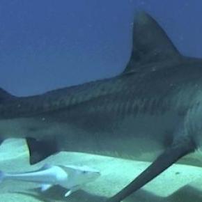 Nouvelle attaque de requin mortelle à La Réunion.