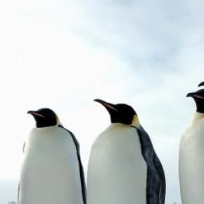Los pingüinos solo pueden captar dos sabores