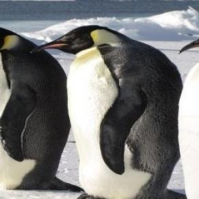 A pingvinek nem érzékelnek három alapízet