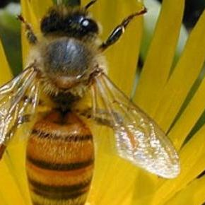 Las abejas son capaces de distinguir colores