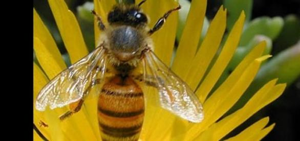 Las abejas son capaces de distinguir colores