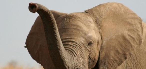 100.000 éléphants ont été tués en trois ans.