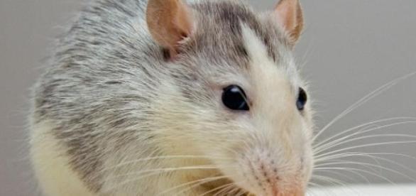Quellennachweis: Ratte jarleeknes.