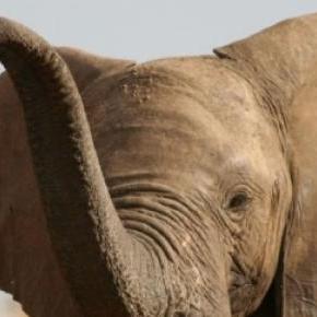 L'Ouganda a saisi une quantité importante d'ivoire