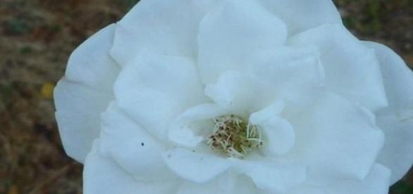 white rose of york, symbolic of yorkist line