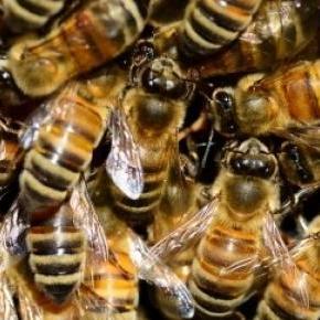 Gesunde Bienen im Bienenstock.