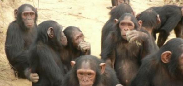 Lo chimpancés a veces actúan como partículas