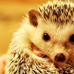 Hedgehog population is in decline