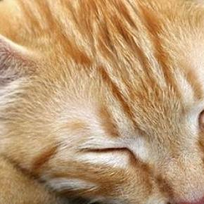az igazak álmát alussza ez a vörös cica