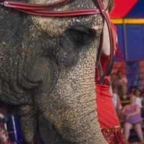 A performing circus Elephant