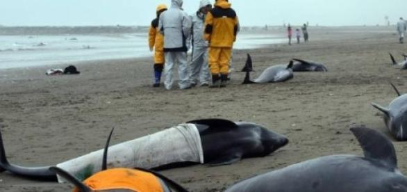Más de 100 delfines mueren en Japón