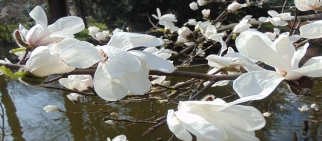 Kwitnące magnolie<br />