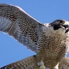 kerecsensólyom (Falco cherrug)