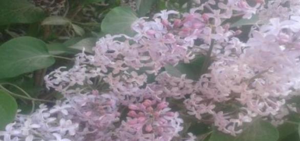 Májusi illatos lila orgonák