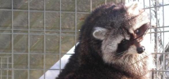Raton laveur : un nouvel animal de compagnie ?