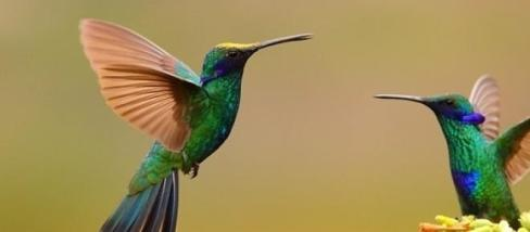 Ibolya-kolibrik - Miguel Hadzich fényképe