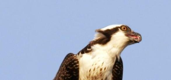 A águia-pesqueira é uma espécie protegida.