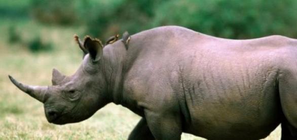 Les rhinocéros sont en danger en Afrique du Sud.