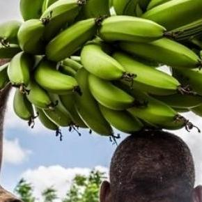 Worker carries bananas in a plantation in Somalia