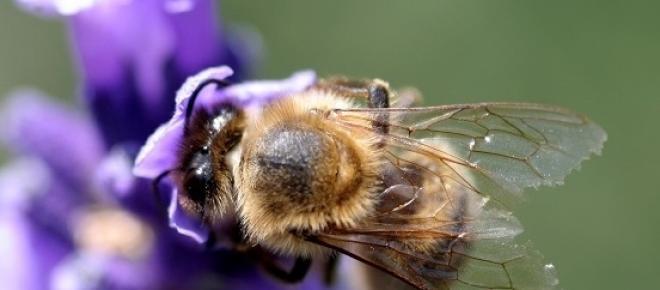 A toxina no veneno da abelha poderia curar o HIV