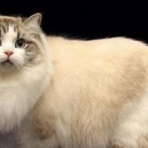 Ragamuffin cica (google.com)