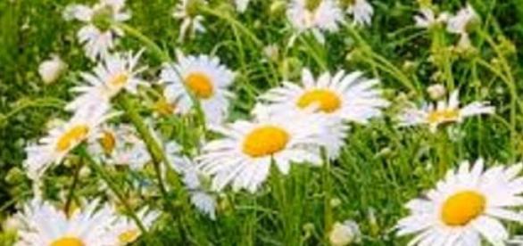 rumianek- roślina o działaniu leczniczym